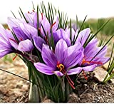 #10: Fresh Bulbs - Saffron Flower , Crocus Sativus - 10 pcs