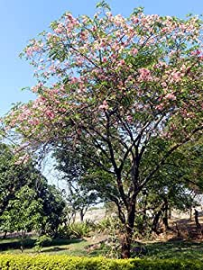 SEED Seller: Rare Cassia javanica Seeds for growing, known as Java Cassia, Pink Shower, Apple Blossom Tree, Rainbow Shower Tree, Java rani. Flowering Tree with beautiful crimson and pink flower bunches (30 seeds)