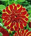 """BALDUR-Garten Dahlie """"Jescot Lingold"""",2 Stück Schmuckdahlie Dahlia von Baldur-Garten bei Du und dein Garten"""