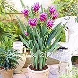 SwansGreen 50 PC Seltene Rhizoma Curcuma Blumensamen Kurkuma Seed Lebensmittel Würzen Antibiose Innentopfbonsaipflanzen Gesunde Garten 8