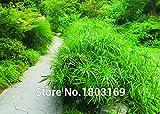 Ziergräser Samen, Hase Tails Samtgras 100 Samen * Bonsai Entzückende Ziergras, freies Verschiffen!