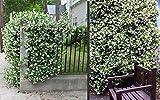 Trachelospermum jasminoides Sternjasmin 180-200 Jasmin Blütenduft winterhart