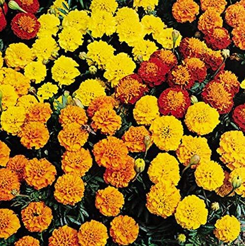 Portal Cool Marigold Petite Serie Mix Samen Annual Beaut Schnittblume - Petite-serie