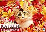 Katzen: in die Augen geschaut (Wandkalender 2019 DIN A3 quer): Katzen: geliebte Stubentiger (Monatskalender, 14 Seiten ) (CALVENDO Tiere)