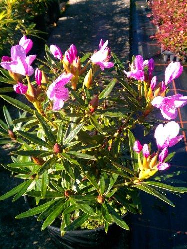 Alpenrose Rhododendron ponticum Graziella 40 cm hoch im 5 Liter Pflanzcontainer