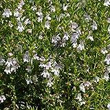 Satureja montana - Sariette des montagnes aromatique