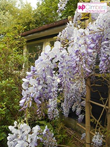 Winterharter Garten Blauregen, Japanischer Blauregen, (Wisteria sinensis), ca. 65cm hoch im 15cm Topf, (Blau/Weiss, Sorte: Wisteria floribunda Naga Noda)