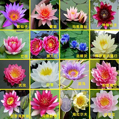 Hemore Buyerchoice Hydroponische Blumen, Kleine Seerose, Mini Lotus-Samen, Bonsai, Hydrophyt, 30 Samen -