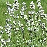 40 Samen Lavendel Ellegance Snow – Lavandula angustifolia, weiße Blüten