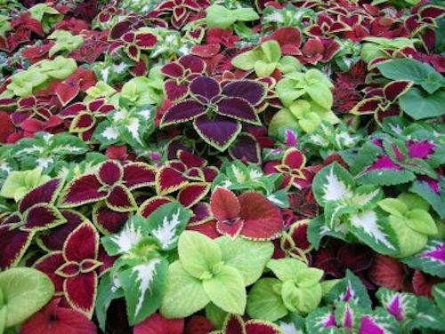 portal cool 50+ semi coleus rainbow flower mix, saracinesche loving facile da coltivare annuale/outdoor