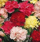 Peso: 0.5 g          Altura: 50 - 80 cm          Periodo de floración: Junio ??- finales de agosto         Forma de crecimiento: mechones erectos         Follaje: verde oscuro, hojas de punta         Tipo de flor: doble       ...
