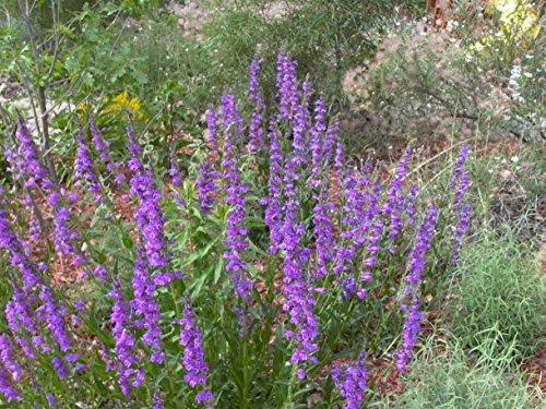 PLAT FIRM GERMINATIONSAMEN: 2500: Rocky Mountain Penstemon Penstemon Strictus 300 bis 2500 Samen Größe auswählen -