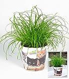 BALDUR-Garten Katzengras,1 Pflanze