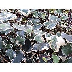 Nordafrikanisches Efeu - Hedera algeriensis - Gloire de Marengo - Kletterpflanze, Heckenpflanze, sehr große Blätter, robust, 40-60 cm