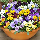 Premier Seeds Direct VLA03F Viola Cornuta Large Flower Mix Seeds (Pack of 150)