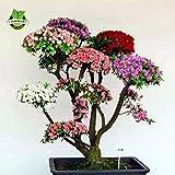 100 PC / bag Bonsai Berg Azalea - Rhododendron simsii Satsuki Mischfarben-Blumen-DIY Haus & Garten Pflanzen samen nur