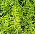 Goldschuppenfarn Crispa - Dryopteris affinis von Baumschule - Du und dein Garten