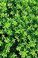 japanische Hülse Ilex crenata Twiggy Kugel 35 - 40 cm mit Ballen von Plantenwelt Wiesmoor auf Du und dein Garten