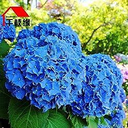 UPSTONE Garten - Südafrika Geranie Samen PelargoniumPelargonieals Rabatte-, Beet-, Topf-, Balkon- oder Kübelpflanze mehrjährig winterhart (50, Blau)