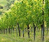 Infrarotheizung Bildheizung SLIM Stahlblech rahmenlos – extra schlank, 450 Watt, 70x60x1,5 cm - mit hochwertigem Druck und Schutzlack, Motiv Weingarten