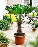 Seltene Palmen Kreuzung Trachycarpus Fortunei / Wagnerianus 60-80 cm. Frosthart bis - 18 Grad Celsius