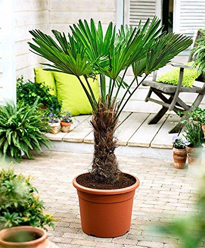 Seltene Palmen Kreuzung Trachycarpus Fortunei/Wagnerianus 60-80 cm. Frosthart bis - 18 Grad Celsius