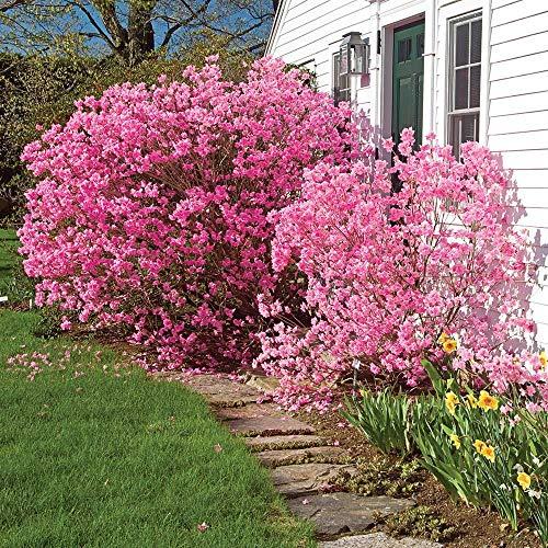 Qulista Samenhaus - Rosa Bienenweide Rhododendron 'Nugget by Bloombux®' duftend für Bienen Schmetterlinge Blumensamen Baum Saatgut Heckenpflanze winterhart mehrjährig pflegeleicht