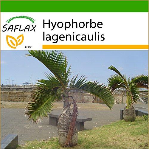 SAFLAX - Flaschenpalme / Faßpalme - 3 Samen - Mit Substrat - Hyophorbe lagenicaulis