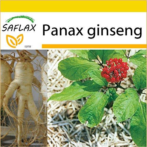SAFLAX - Set de cultivo - Ginseng - 10 semillas - Panax ginseng