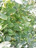 50 Stück Heckenpflanzen Weiß-Hainbuchen (carpinus betulus) Wurzelware 50-80 cm