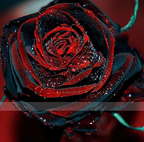 2016 nouveaux 50 Rouge et noir Graines Rose, couleur rare, riche en arômes, bricolage jardin Rose usine fou promotion-S0101