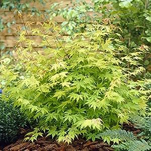Acer palmatum Orange Dream - 1 arbre