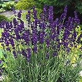 Staude Lavendel, 6 Pflanzen im 7cm Topf