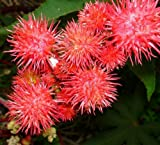 20samen Ricinus Fire Rot Rizinusöl Pflanze Castor Bean Mamona Jada arandi higuerilla Palma Christi Kräuter Bulk Garten Blumen B6005
