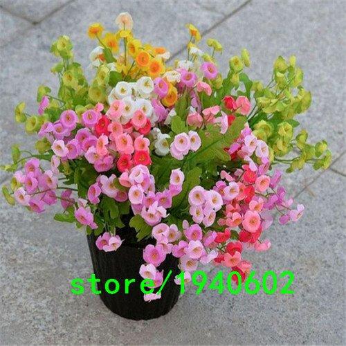 100 graines de fleurs multicolores, Bell, (Campanula percisifolia) meilleures plantes pour jardins chalet dur vivaces grands pour couper