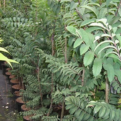 Müllers Grüner Garten Shop Amerikanische Eberesche Sorbus americana Heister Besonderheit ca. 150-200 cm im 5 Liter Topf
