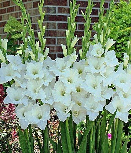 Gladiolus – Gladiole 50