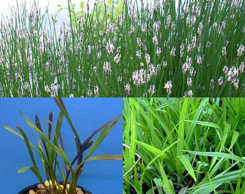 25 Filterpflanzen - Teichpflanzen