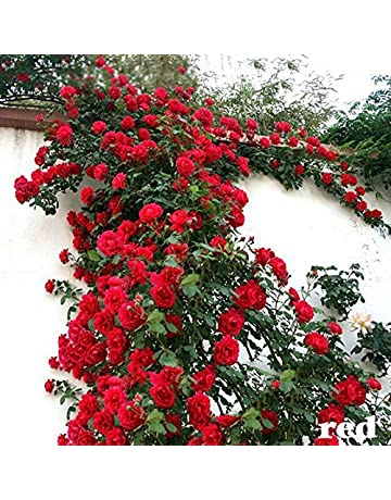 Rose Plants: Buy Rose Plants Online at Best Prices in India