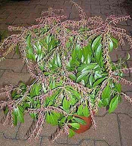 Schattenglöckchen Normalwachsend (bis 40 cm)