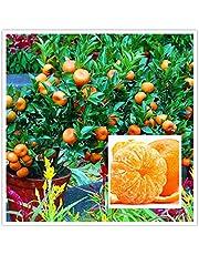 Creative Farmer Live Plants For Garden Orange Indoor Plant Bonsai Suitable Orange Plant Plant Plant ForGift (1 Healthy Live Plant)