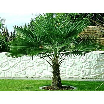 baldur garten winterharte k bel palmen 2 pflanzen. Black Bedroom Furniture Sets. Home Design Ideas
