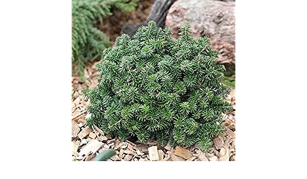 Zwerg Koreatanne Brillant 15-20cm Abies koreana