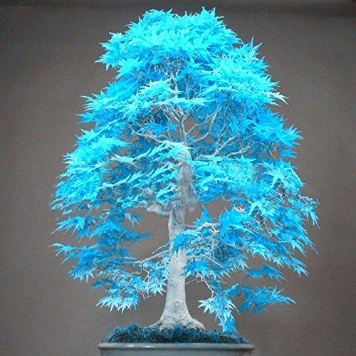 10 bonsaï graines d'arbres d'érable bleu Bonsai graines d'arbres. ciel bleu rare plantes graines de l'érable Balcon japonais maison jardin