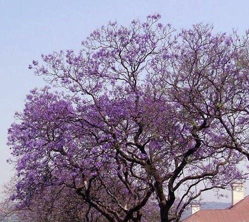 ScoutSeed Royal Empress Tree 100 Samen Paulownia Tomentosa * Der am schnellsten wachsende Baum * CombSH