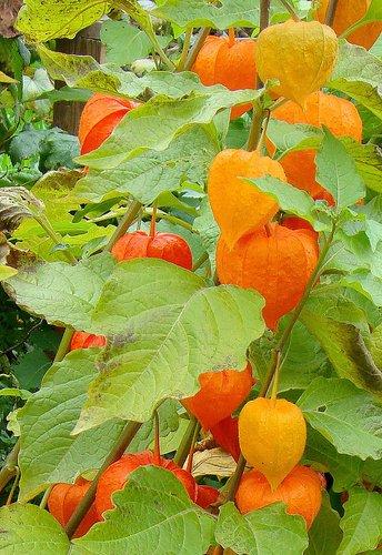 Lampionblume - Physalis alkekengi var franchetii - 60 Samen