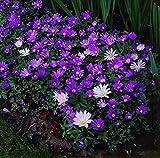 Anemone Blanda Mix - 30 bulbes de fleurs
