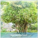 IDEA HIGH Seeds-ZLKING 20 Stücke Glücklich Bambus Immergrüne Pflanzen Bonsai Beliebte Mehrjährige Exotische Schöne Garten Bäume Schnell Wachsend