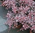 Buntlaubige Berberitze Pink Queen - Berberis thunbergii - Edelberberitze von Baumschule Pflanzenvielfalt - Du und dein Garten