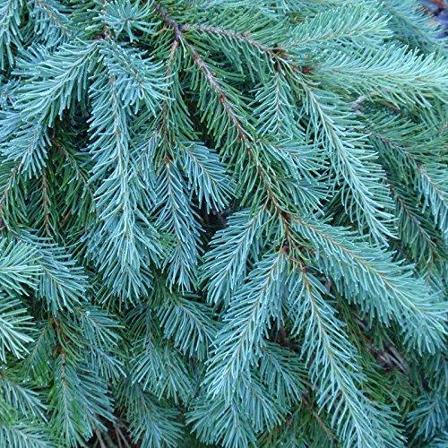 PLAT FIRM GERMINATIONSAMEN: 240 Samen: Blau Douglasie, Pseudotsuga menziesii glauca, Baum Samen (Fragrant Evergreen)